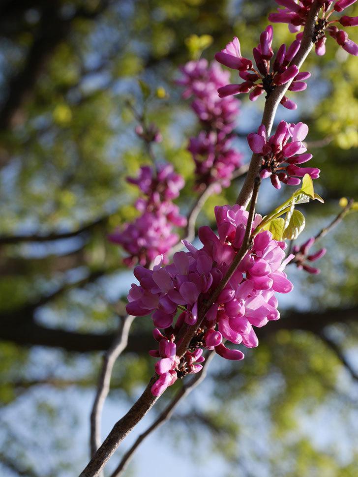 ハナズオウの花が咲いた。2021年-003.jpg