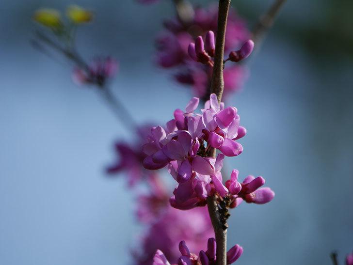 ハナズオウの花が咲いた。2021年-005.jpg