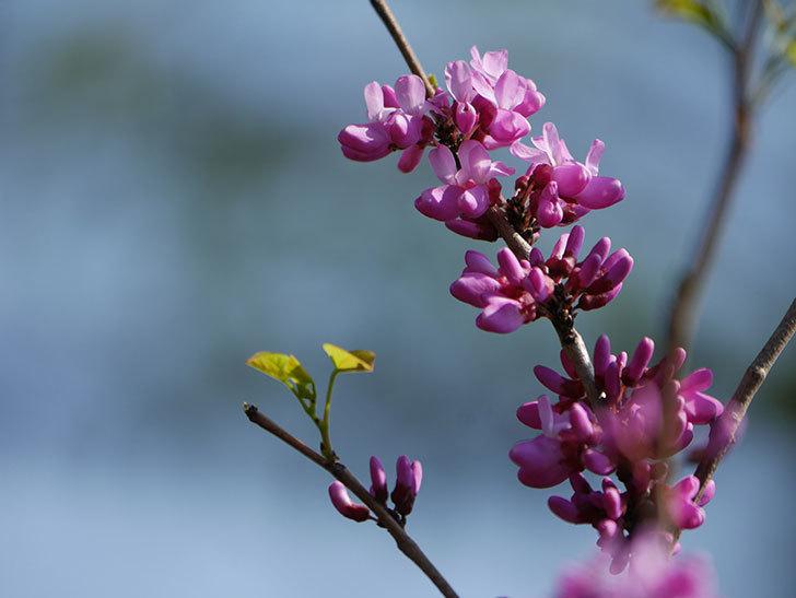 ハナズオウの花が咲いた。2021年-006.jpg