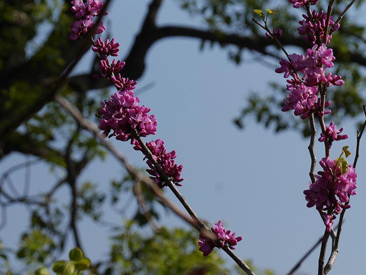 ハナズオウの花が咲いた。2021年-007.jpg
