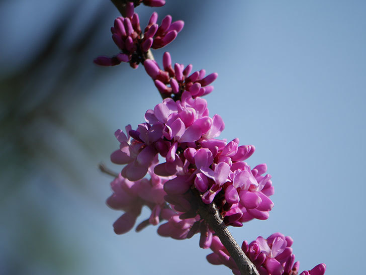 ハナズオウの花が咲いた。2021年-009.jpg