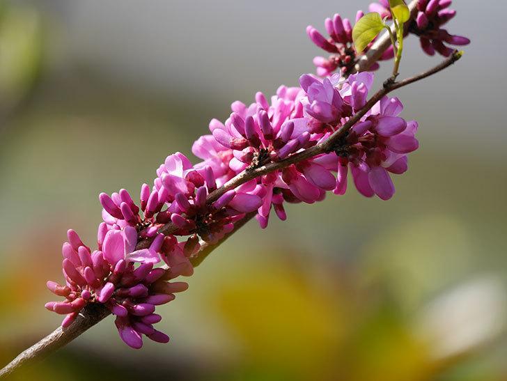 ハナズオウの花が咲いた。2021年-011.jpg