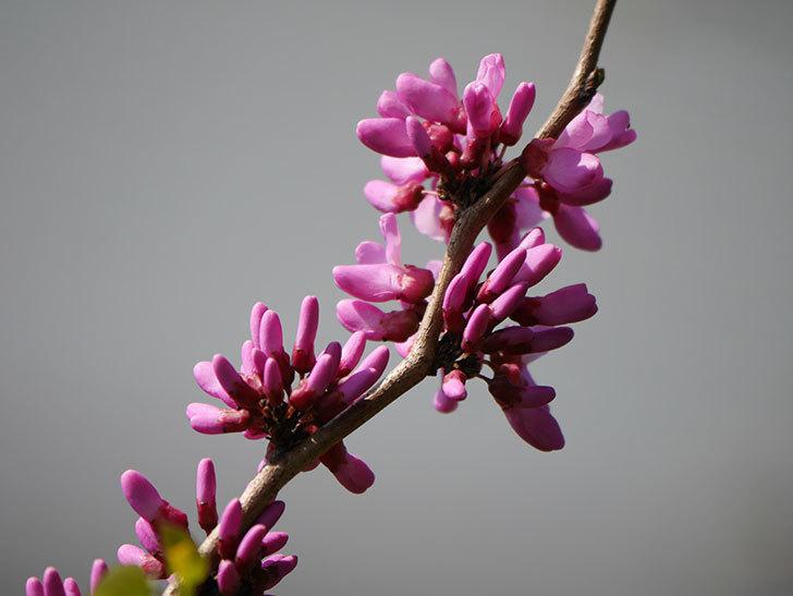 ハナズオウの花が咲いた。2021年-014.jpg