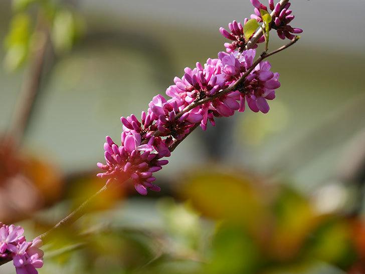 ハナズオウの花が咲いた。2021年-015.jpg