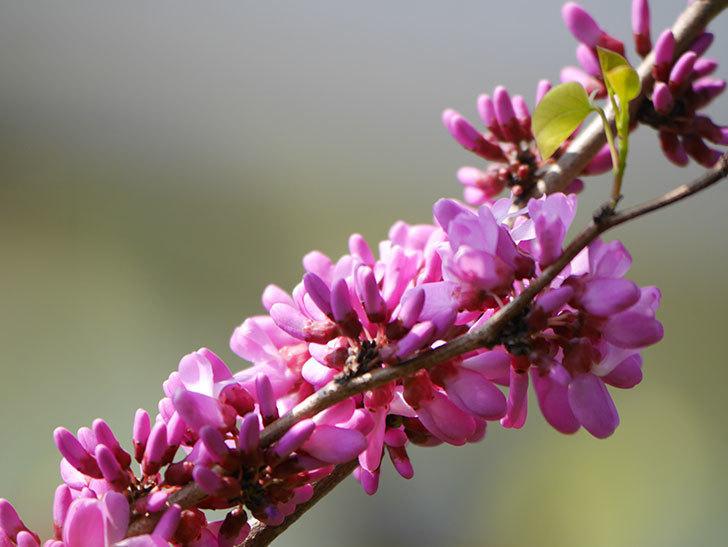ハナズオウの花が咲いた。2021年-016.jpg