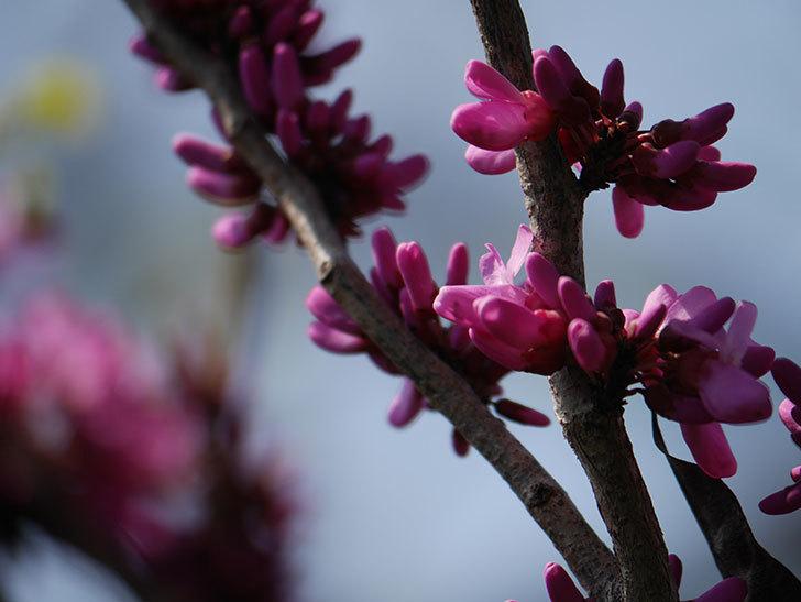ハナズオウの花が咲いた。2021年-019.jpg