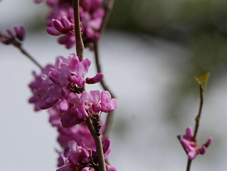 ハナズオウの花が咲いた。2021年-021.jpg