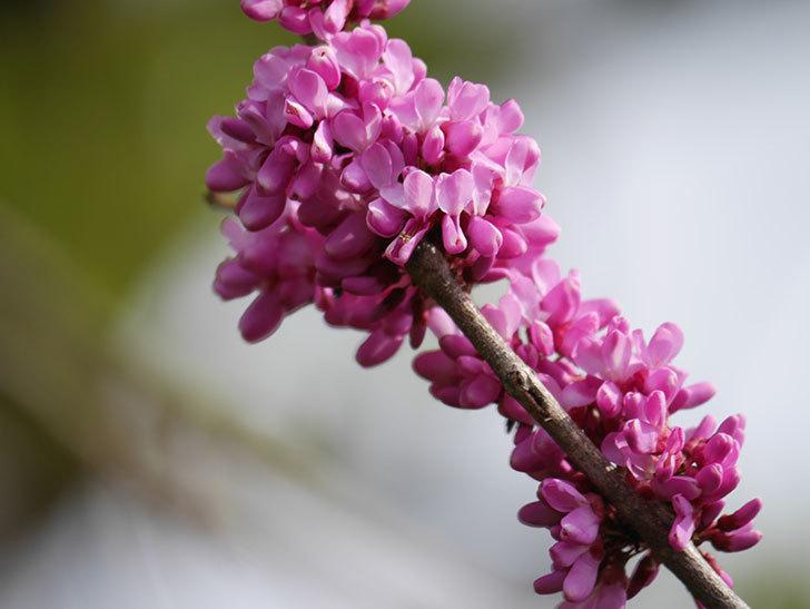 ハナズオウの花が咲いた。2021年-022.jpg
