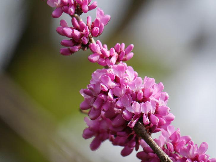 ハナズオウの花が咲いた。2021年-023.jpg
