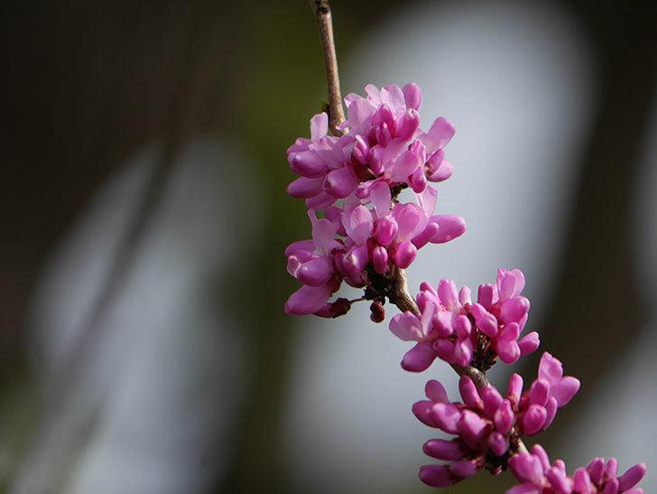 ハナズオウの花が咲いた。2021年-024.jpg