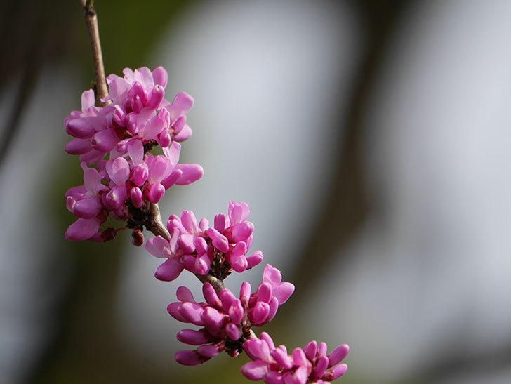 ハナズオウの花が咲いた。2021年-025.jpg