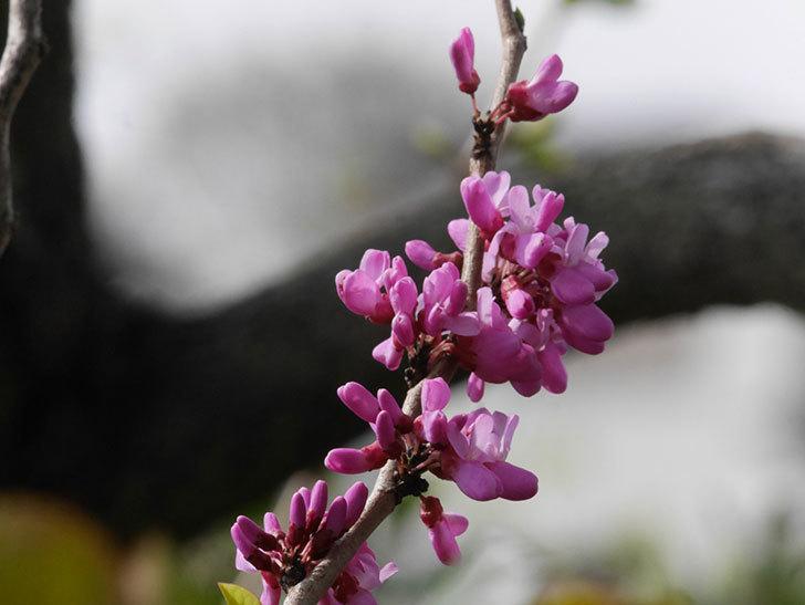ハナズオウの花が咲いた。2021年-026.jpg