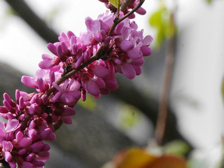 ハナズオウの花が咲いた。2021年-027.jpg