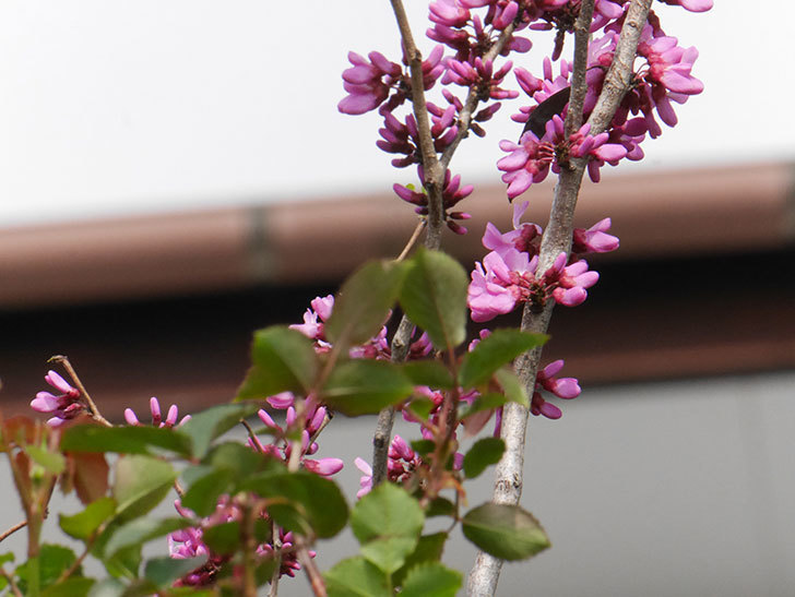 ハナズオウの花が咲いた。2021年-028.jpg