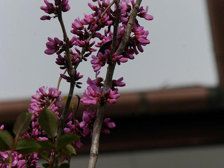 ハナズオウの花が咲いた。2021年-029.jpg