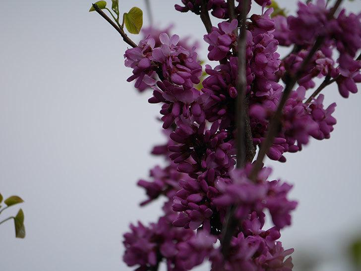 ハナズオウの花が咲いた。2021年-031.jpg