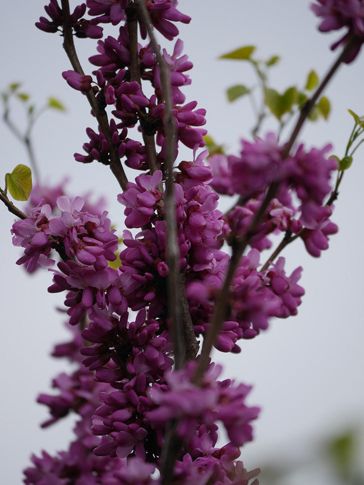ハナズオウの花が咲いた。2021年-032.jpg