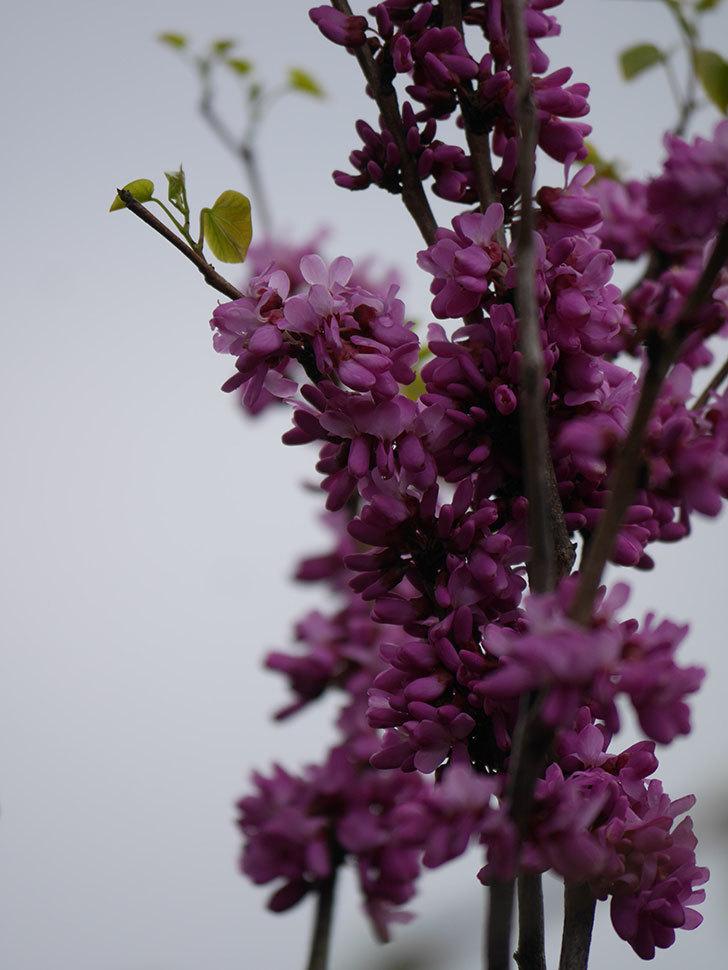 ハナズオウの花が咲いた。2021年-033.jpg