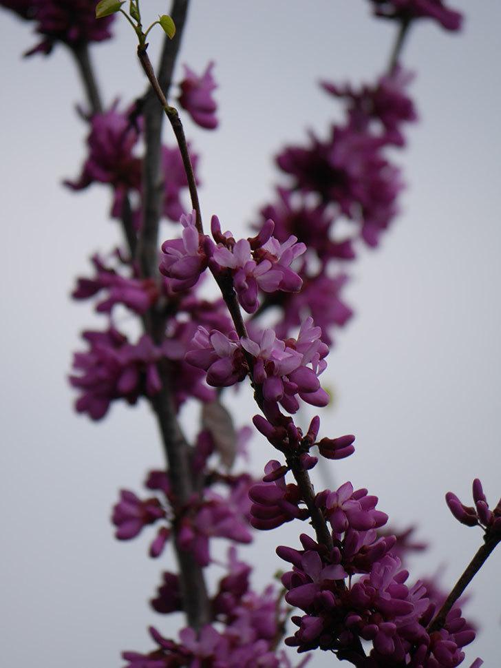 ハナズオウの花が咲いた。2021年-035.jpg