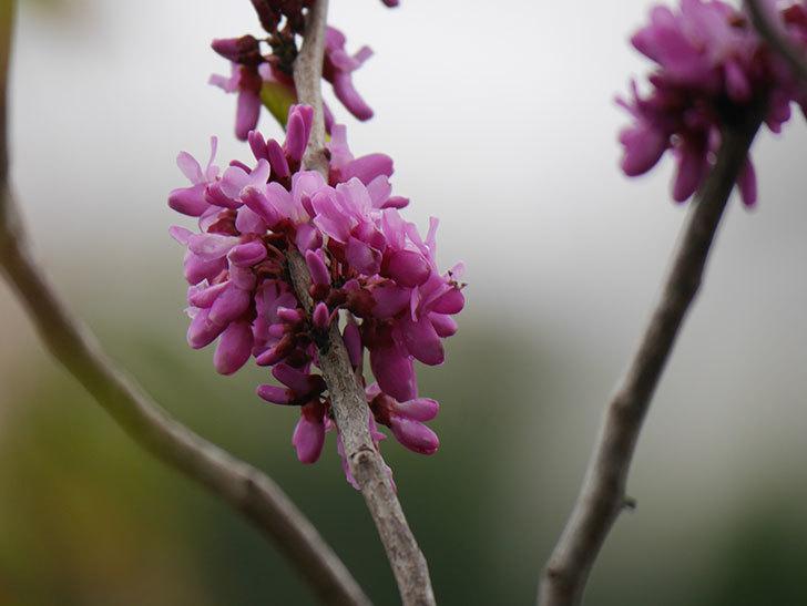 ハナズオウの花が咲いた。2021年-036.jpg
