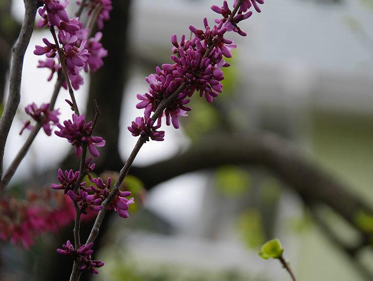 ハナズオウの花が咲いた。2021年-037.jpg