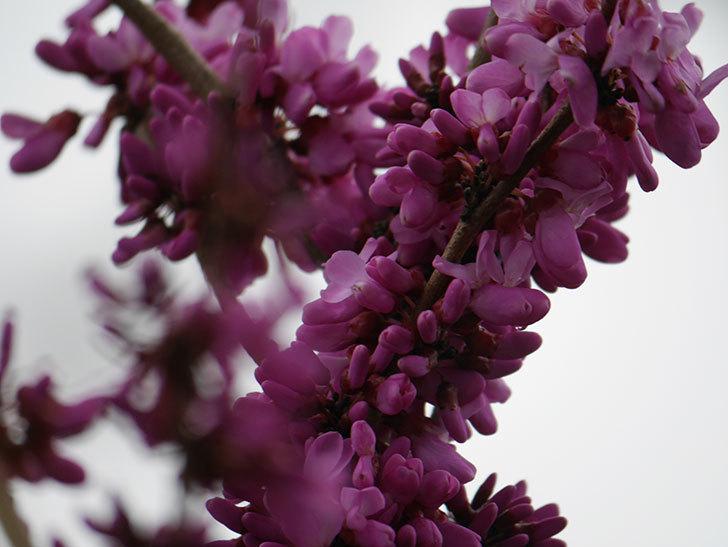 ハナズオウの花が咲いた。2021年-039.jpg