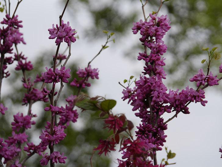 ハナズオウの花が咲いた。2021年-040.jpg