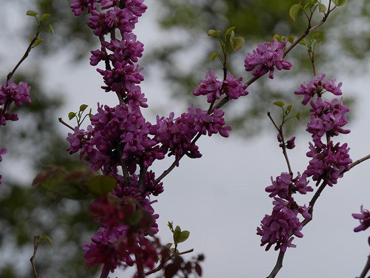 ハナズオウの花が咲いた。2021年-041.jpg