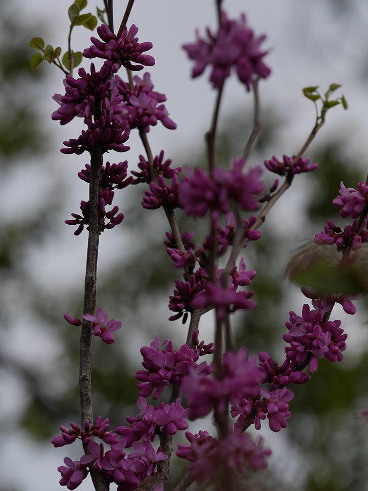 ハナズオウの花が咲いた。2021年-043.jpg