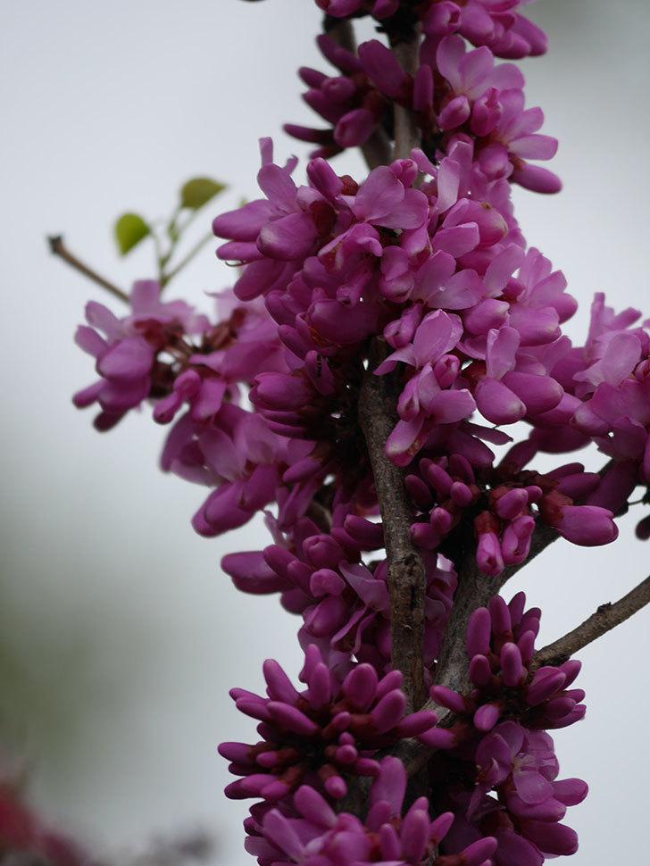 ハナズオウの花が咲いた。2021年-044.jpg