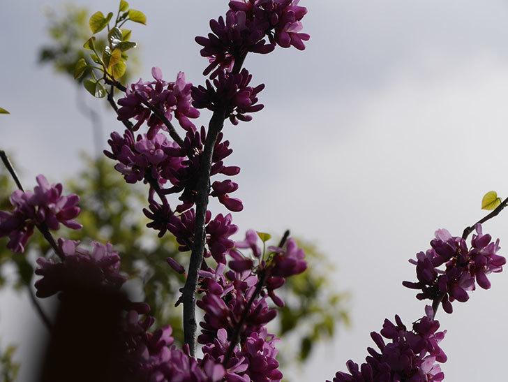 ハナズオウの花が咲いた。2021年-045.jpg