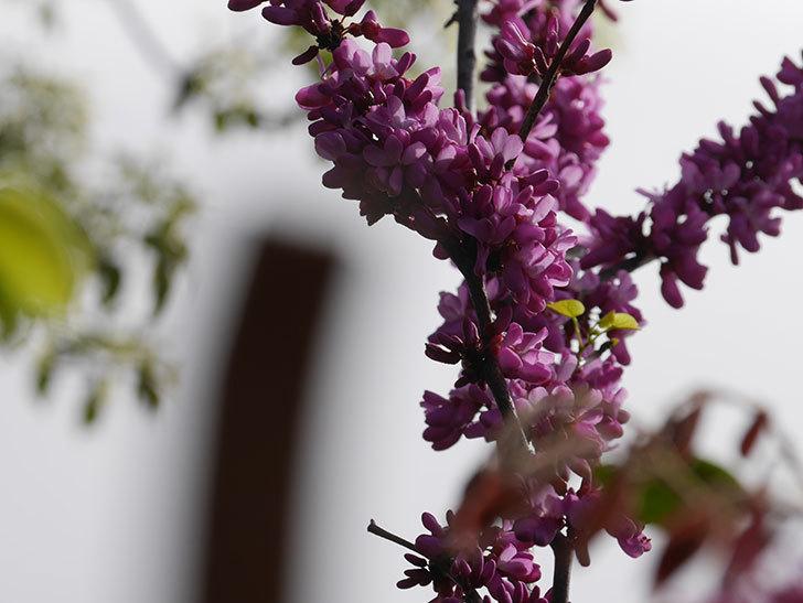 ハナズオウの花が咲いた。2021年-046.jpg