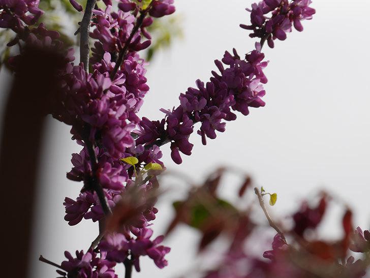 ハナズオウの花が咲いた。2021年-047.jpg