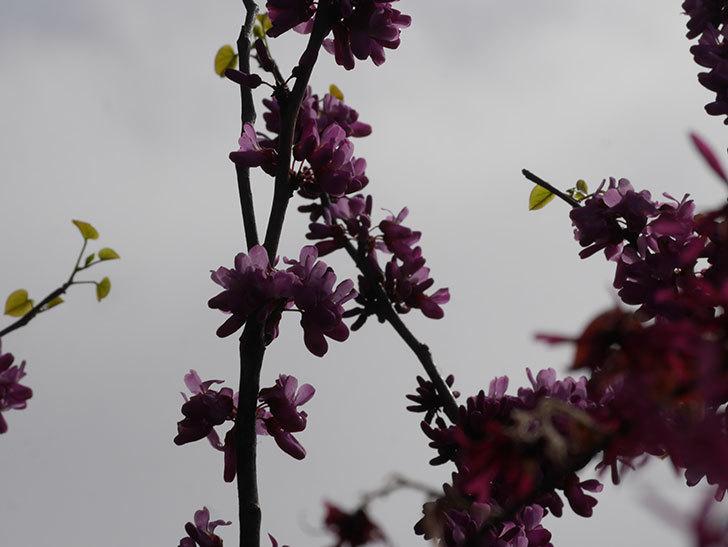 ハナズオウの花が咲いた。2021年-048.jpg