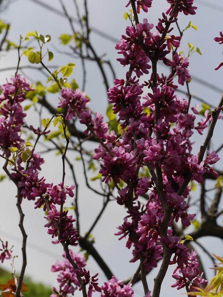 ハナズオウの花が咲いた。2021年-050.jpg