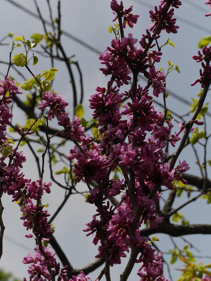 ハナズオウの花が咲いた。2021年-051.jpg