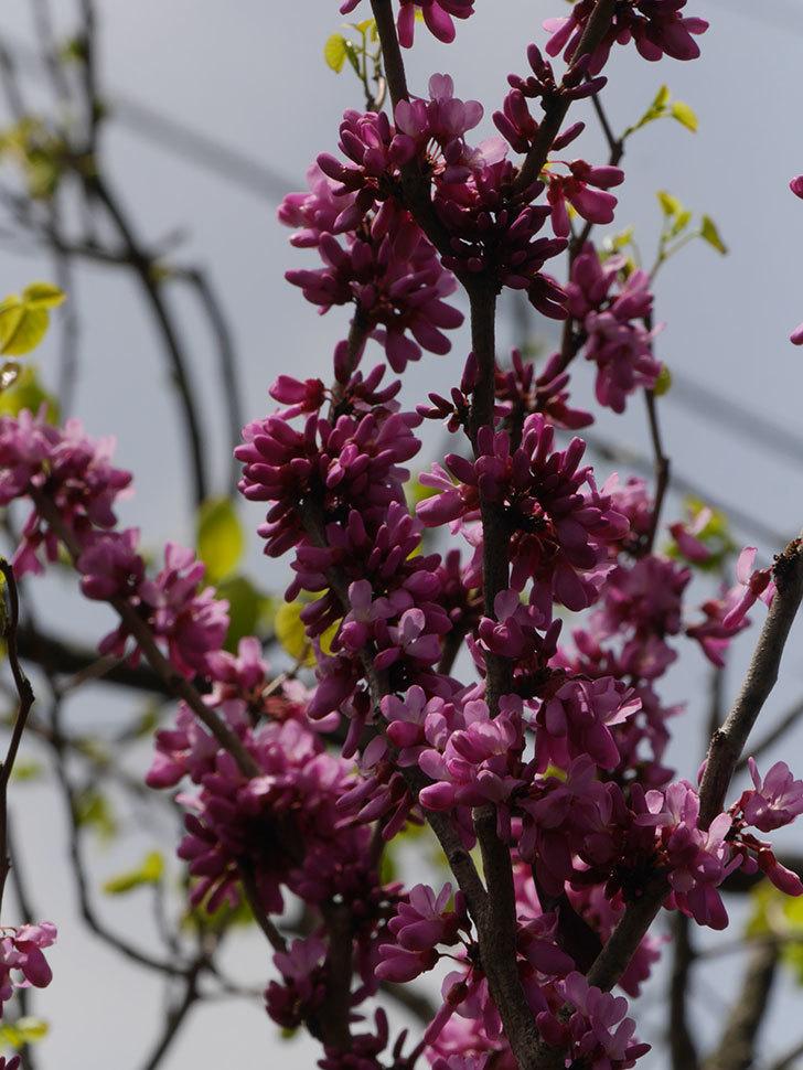 ハナズオウの花が咲いた。2021年-053.jpg
