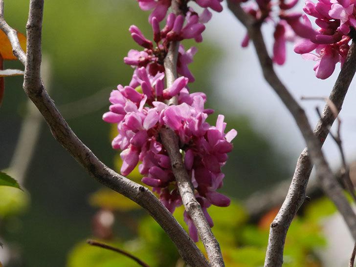 ハナズオウの花が咲いた。2021年-054.jpg