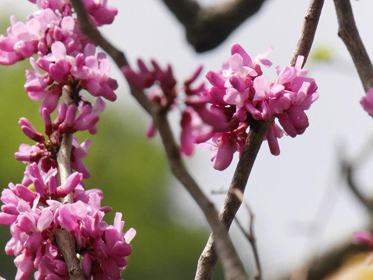 ハナズオウの花が咲いた。2021年-055.jpg