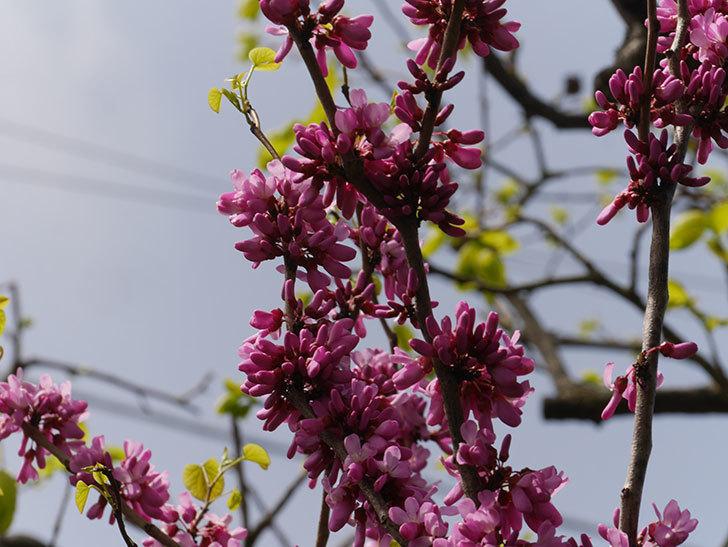 ハナズオウの花が咲いた。2021年-057.jpg
