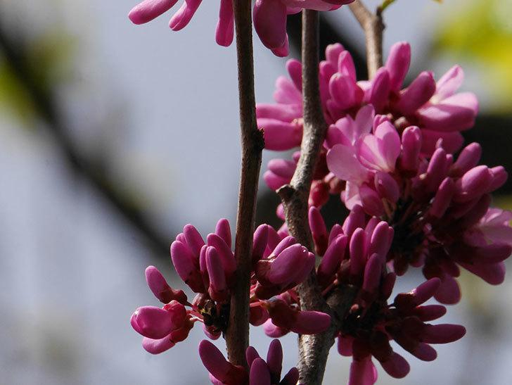 ハナズオウの花が咲いた。2021年-058.jpg