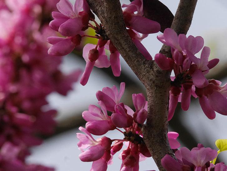 ハナズオウの花が咲いた。2021年-059.jpg