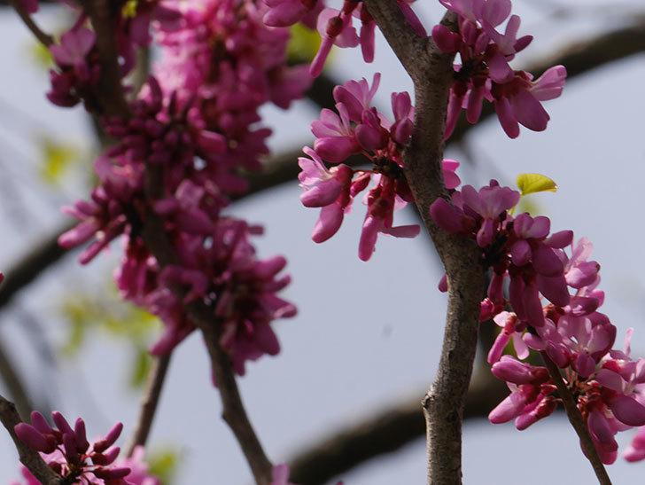 ハナズオウの花が咲いた。2021年-060.jpg