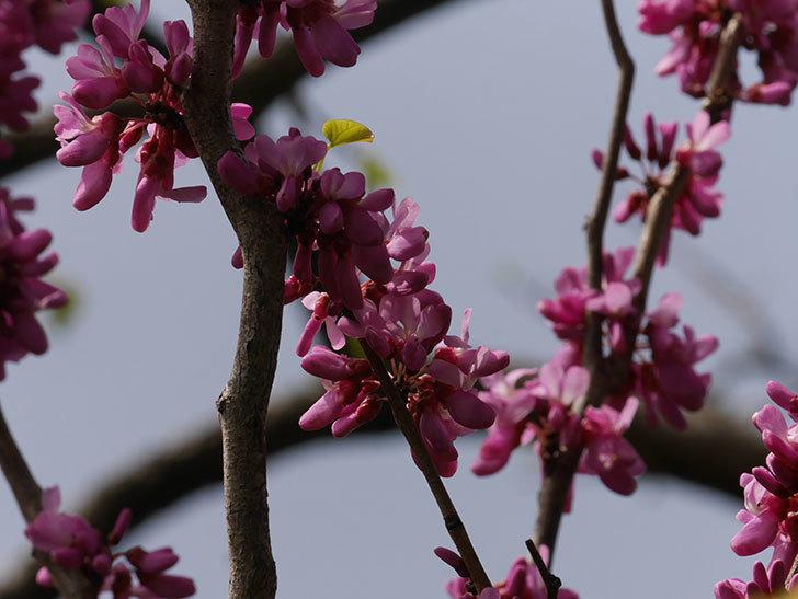 ハナズオウの花が咲いた。2021年-061.jpg