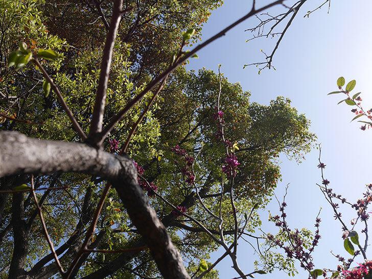 ハナズオウの花が咲きだした。2021年-001.jpg