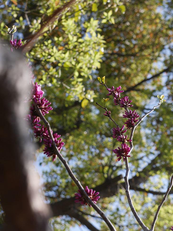 ハナズオウの花が咲きだした。2021年-005.jpg