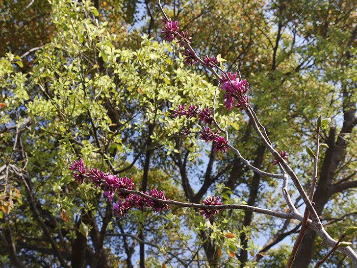 ハナズオウの花が咲きだした。2021年-006.jpg