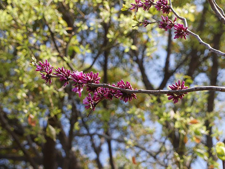 ハナズオウの花が咲きだした。2021年-008.jpg