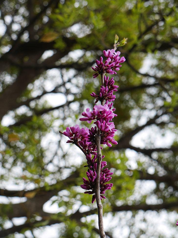 ハナズオウの花が咲きだした。2021年-011.jpg