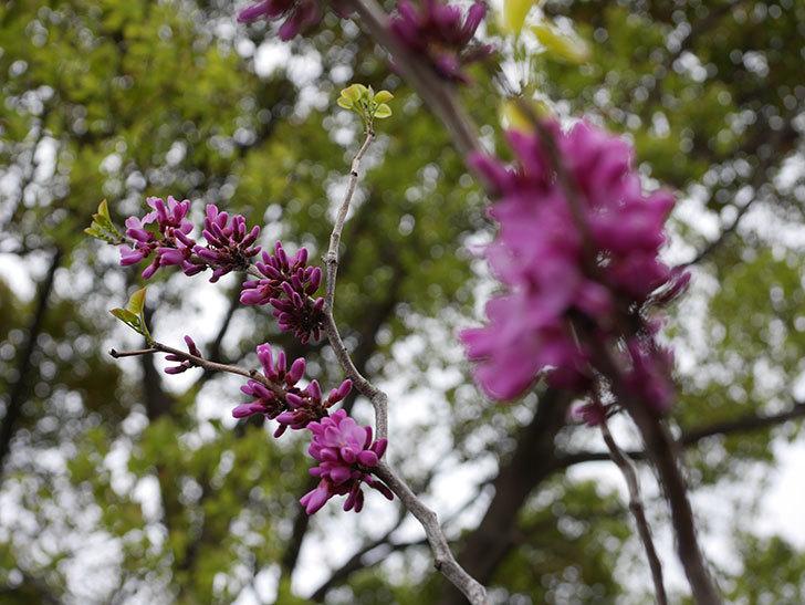 ハナズオウの花が咲きだした。2021年-013.jpg